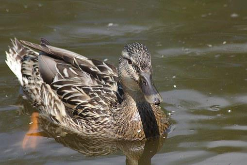 Duck, Mirroring, Chicks, Water, Waters, Pond Pour, City