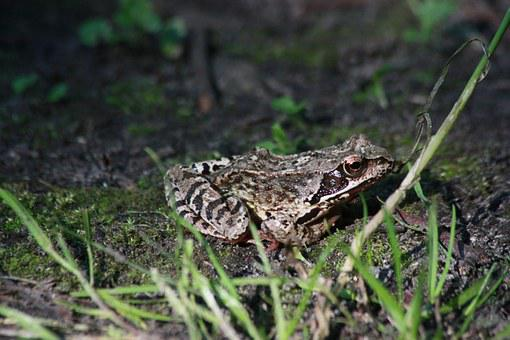 The Frog, A Toad, Common Toad, Amphibian