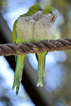 Parrot, Lovebird, Couple, Bird, Fly, Wings, Feather