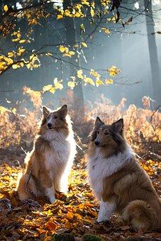 Collie, Dog, Pet, Animal, Animal Portrait, Fur, View