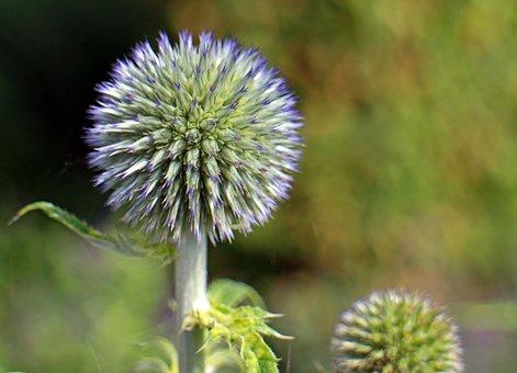Blossom, Bloom, Blue, Globe Thistle, Echinops, Plant