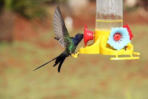 Hummingbird, Colibri, Bird, Fauna, Beija Flor