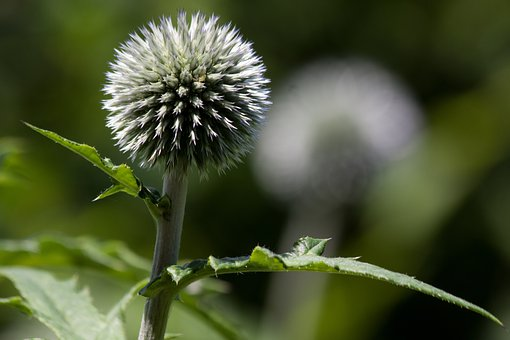 Globe Thistle, Echinops, Composites, Flora, Plant