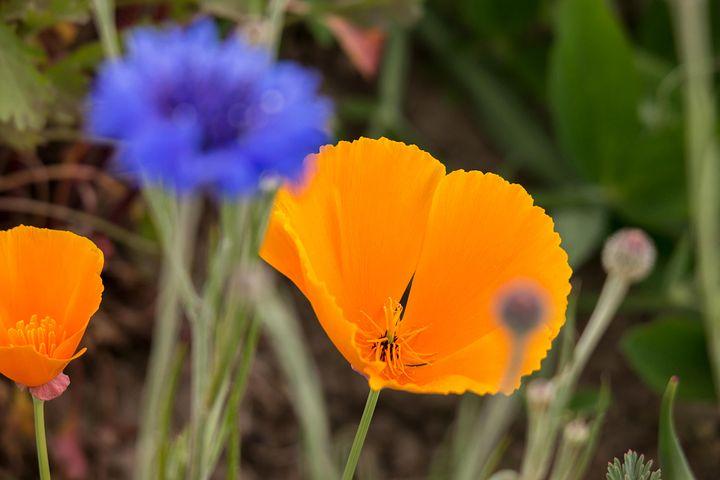 Poppy, Cornflower, Gold Poppy, Eschscholzia Californica