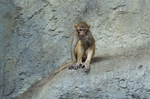 Japanmakake, Monkey, Makake, Animal, Schneeaffe, Climb