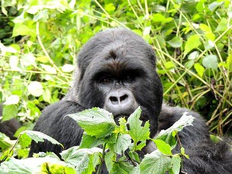 Gorilla, Animal, Silverback, Ape, Wildlife, Jungle