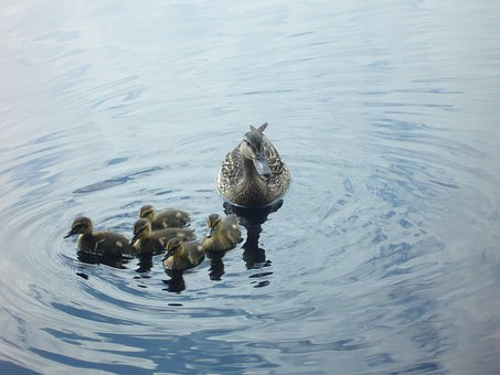 Switzerland, Lake, Kacssa, Ducks, Mallard Duck, Female