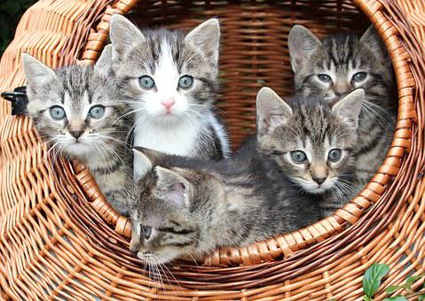 Cat, Kitten In A Basket, Babies, Animals, Kitten