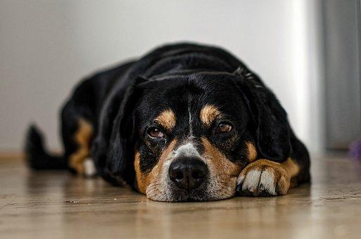 Dogs, Pets, Puppy, Sleepy, Lazy, Drool, Animal, Cute