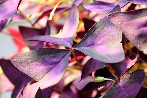 Lucky Clover, Plant, Leaves, Bordeaux, Shamrocks, Luck
