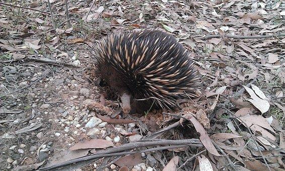 Porcupine, Echidna, Nature, Mammal, Animal, Wildlife