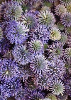 Echinops Ritro, Blue, Thistle, Plant, Nature