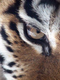 Tiger, Eye, Siberian Tiger, Panthera Tigris Altaica