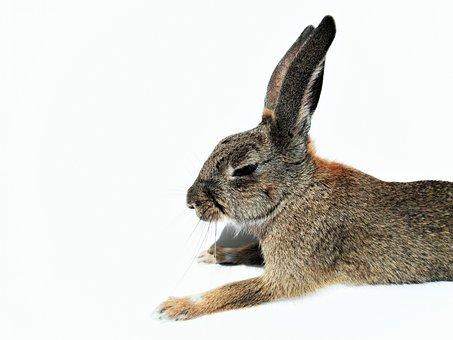 Sleepy, Rabbit, Bunny, Eyes, Closed, Animal, Pet