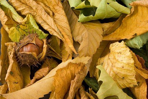 Conker, Tree, Seasonal, Season, Plant, Object, Nut