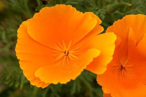 Poppy, Gold Poppy, Eschscholzia Californica