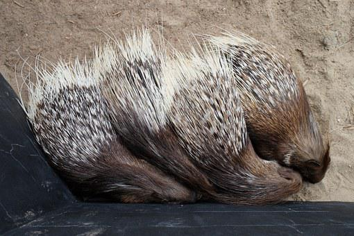 Animals, Porcupine
