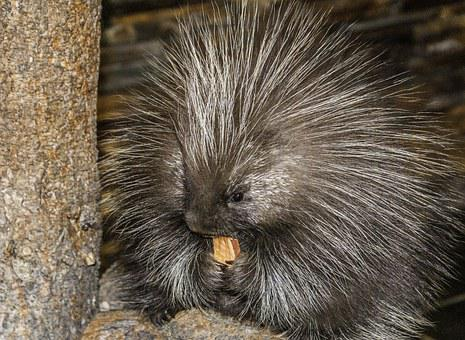 Animal, Porcupine, Wildlife, Prickly, Desert