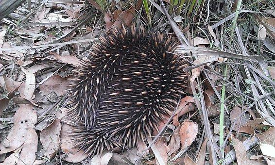 Porcupine, Echidna, Mammal, Nature, Marsupial, Prickly