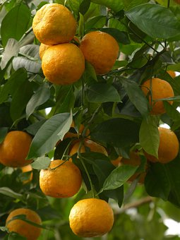 Rind, Fruits, Bitter Oranges, Citrus Aurantium