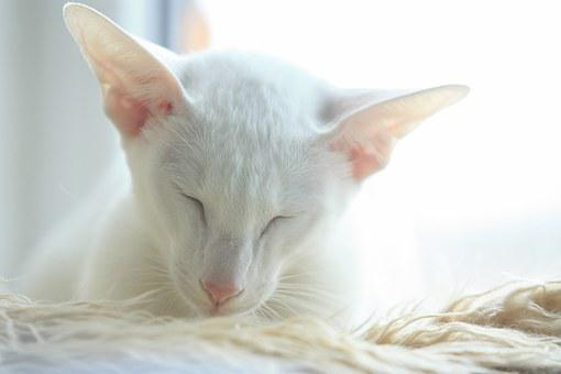 Cat, Oriental, White, Cute, Sleepy, Adorable, Sweet