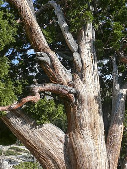 Gnarled, Knobbed, Knotty, Snagged, Tree, Dry, Nature