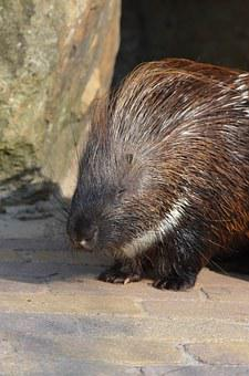 Porcupine, Zoo, Summer