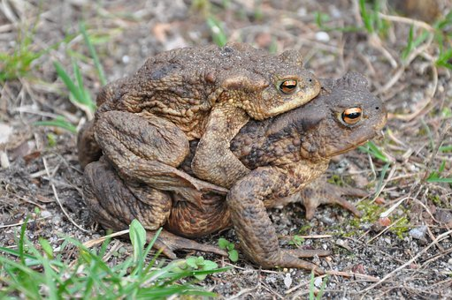 A Toad, Common Toad, The Frog, Amphibian, Animal