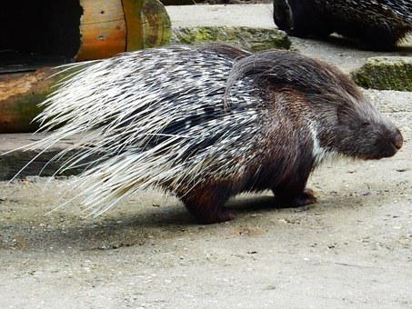 Porcupine, Wildlife Park, Spur, Black, White, Animal