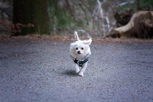 Dog, Maltese, White, Cute, Animal, Pet, Young Dog