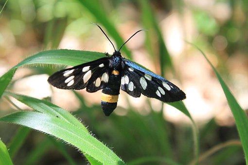Amata, Black, Butterfly, Moth, Phegea, Spotted, Stripe