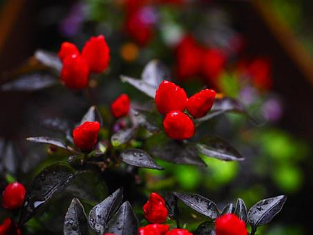 Ornamental Peppers, Fruits, Chili Berry, Red