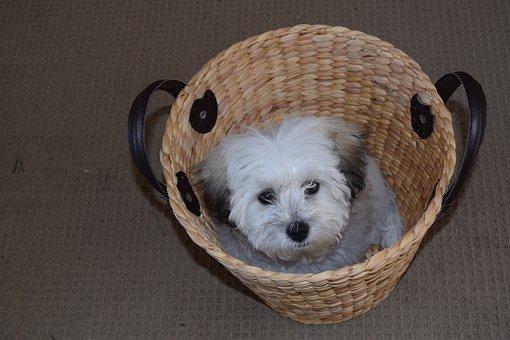 Puppy, Basket, Maltese Shih Tzu, Pet, Dog, Cute, Young