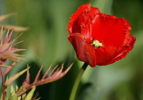 Tulip, Red Flower, Red Tulip, Flower Cup, Closeup