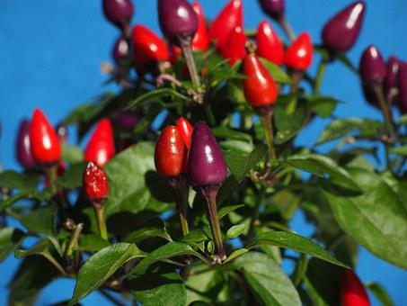 Ornamental Peppers, Fruits, Chili Berry, Violet, Red