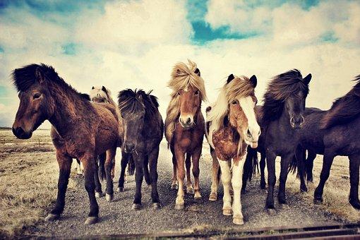 Horses, Icelandic Horses, Iceland Horse, Icelandic