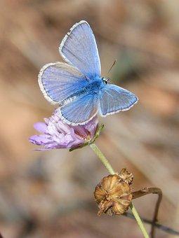 Butterfly, Polyommatus Icarus, Blue Butterfly, Libar