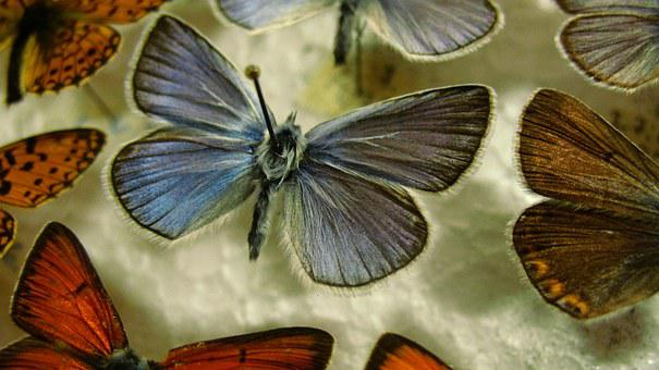 Butterfly, Blue, Pinned, Wing, Insect, Macro, Natural