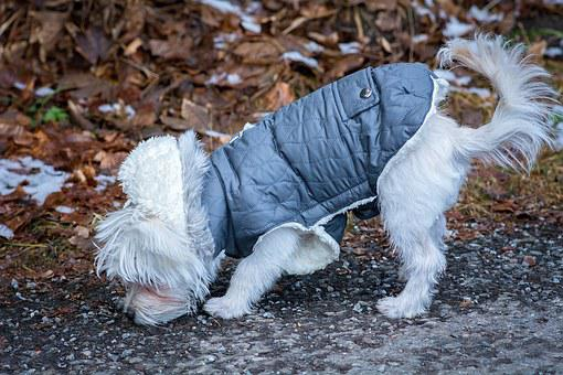 Dog, Maltese, Young Dog, White, Small, Sweet, Cute