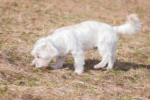 Dog, White, Young Dog, Maltese, Small, Small Dog, Pet