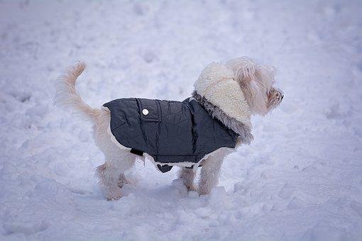 Dog, Young Dog, Young, White, Maltese, Dog Coat
