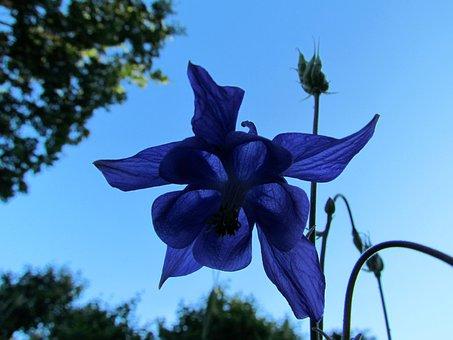 Flower, Columbine, Blue, Midsummer, Summer, Garden