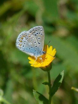 Polyommatus Icarus, Blue Butterfly, Blaueta, Butterfly