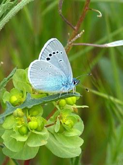 Blue Butterfly, Blaveta, Polyommatus Icarus