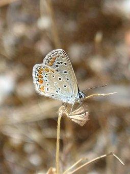 Polyommatus Icarus, Blue Maiposa, Blaveta Commune