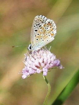 Blue Butterfly, Blaveta Commune, Polyommatus Icarus