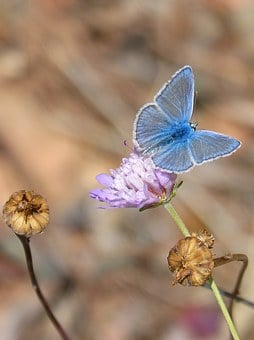 Butterfly, Polyommatus Icarus, Blue Butterfly, Libar
