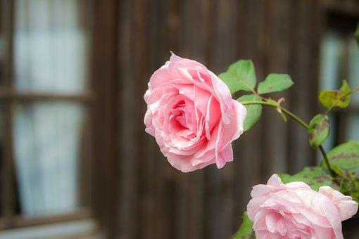 Rose, Pink, Blossom, Bloom, Rose Bloom, Pink Roses
