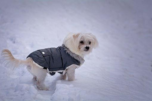 Dog, Maltese, White, Sweet, Cute, Small, Young Dog
