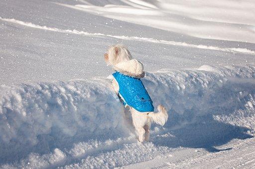 Dog, Maltese, Small Dog, Young Dog, White, Sweet, Cute